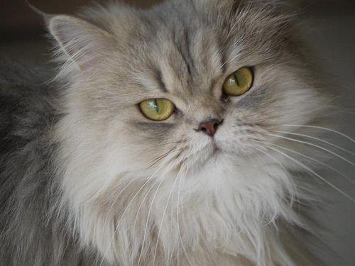 Gato persa: Presumido, aristocrático y dormilón