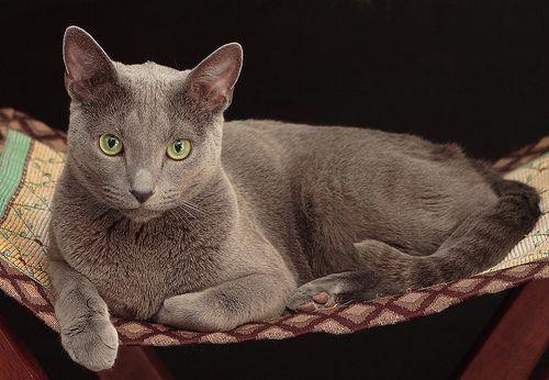 Las razas de gato más populares