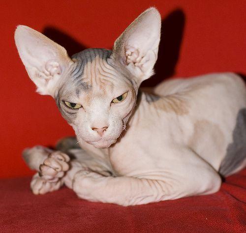 Descubre las 5 razas de gato más bonitas y las 5 más exóticas