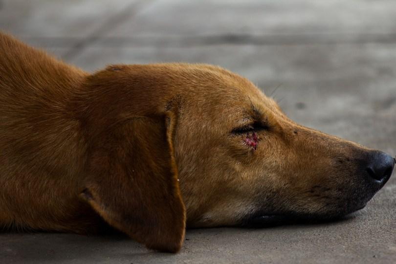 Lesión de piel y dermatitis en un perro