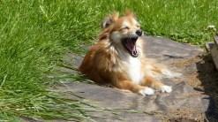 Tos en perros: tos cardíaca - HeelVet