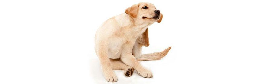 picores en un perro