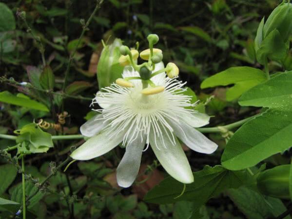 Passiflora subpeltata plantas medicinales mexicanas