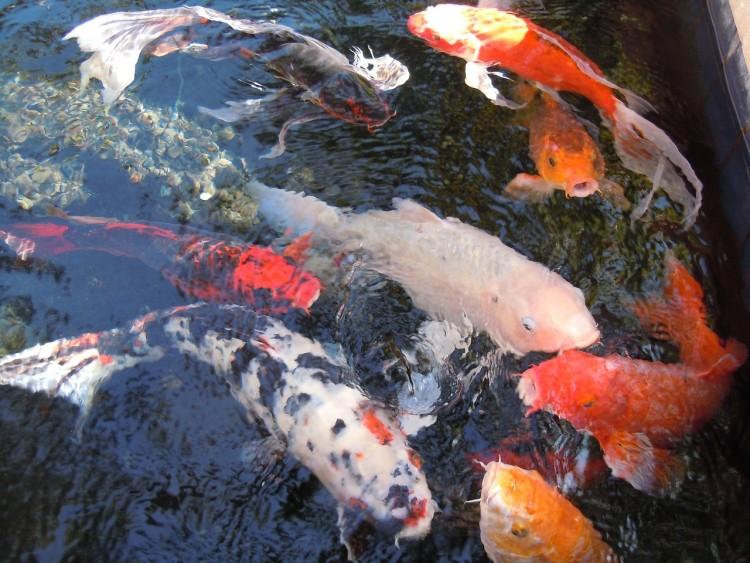 ikan koi - Jenis Jenis Ikan Koi Dan Gambarnya