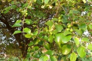 Pohon bidara - daun bidara