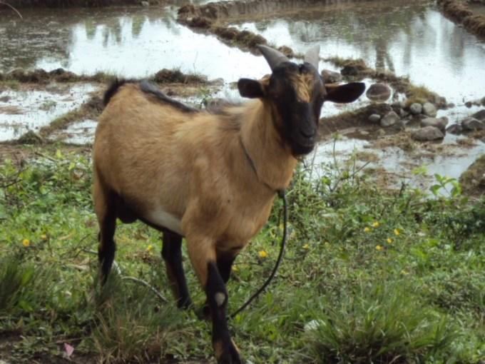 Kambing Kacang atau kambing Jawa