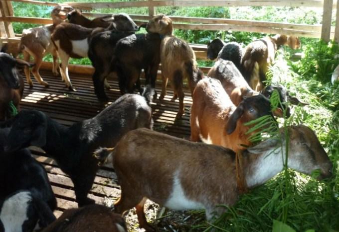Beternak kambing yang menguntungkan