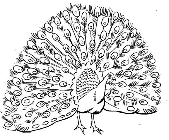 sketsa gambar burung merak