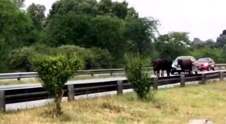 """Vacas en la Jorge Newbery. Al menos hoy no le harán """"Shejitá"""""""