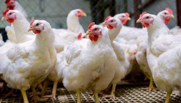 An increase of Rs 30 per kg in the price of chicken