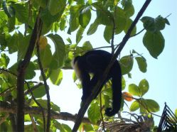11 Un mono carablanca