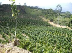 25 Cultivo de café de altura