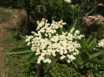 15 Flor de saúco