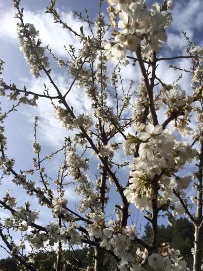 16 Cerezo en flor