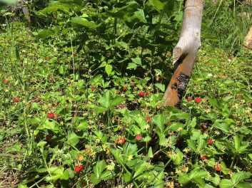 19 Maduración de las primeras fresas