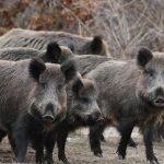 Evitaron el consumo de carne de dos jabalíes con triquinosis
