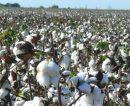 Empresa santafesina será la primera del país en producir algodón sustentable