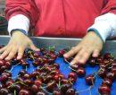 Senasa abrió inscripción para productores frutícolas y programas de exportación