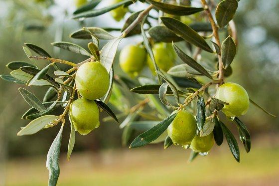 Beneficios de los bioactivos del olivo en la salud intestinal