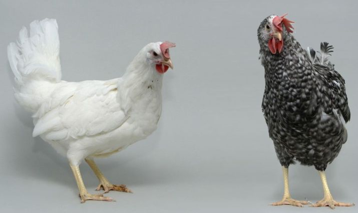 Transferring beneficial poultry genes within one generation