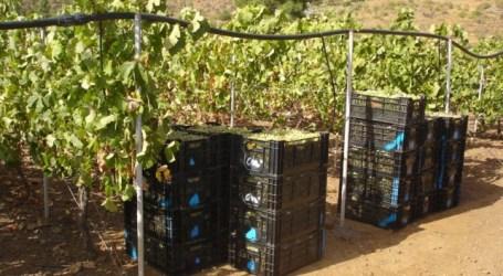 A pesar del calor, los viticultores de Tirajana prevén más uva que el año pasado
