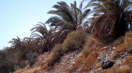 'Palmericidio' y desastre verde en San Bartolomé de Tirajana