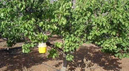 Tirajana repite la campaña para el control de la mosca de la fruta en albaricoques