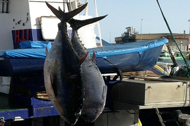 Pesca del atún rojo