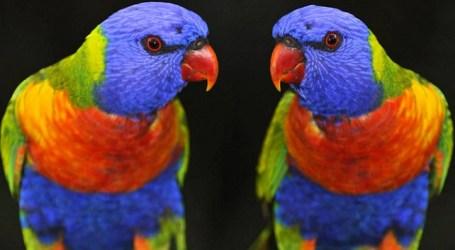 Más de 3.700 pájaros compiten en el XIII Campeonato Ornitológico de Canarias