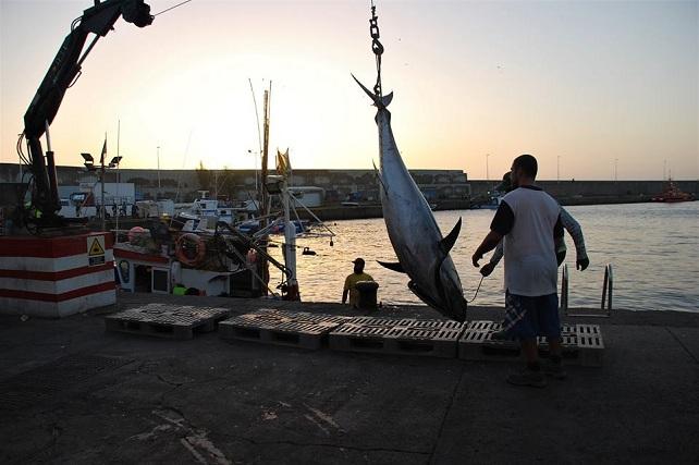 Descarga de un atún rojo