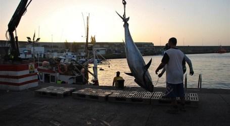 La flota pesquera de Mogán cierra la campaña con más de 26.000 kilos de atún rojo capturados
