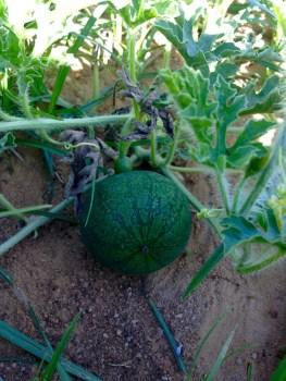 Hoje, enquanto uns estão com um melão…eu cá tenho melancias