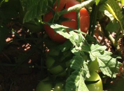 Já há tomates, novamente!