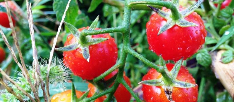 Então e os tomates?