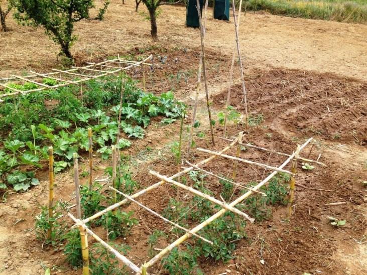 Tomateiros com a estrutura montada