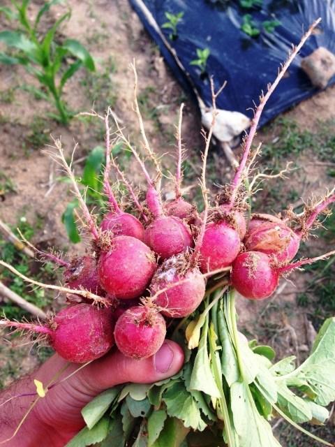 Primeira colheita de rabanetes