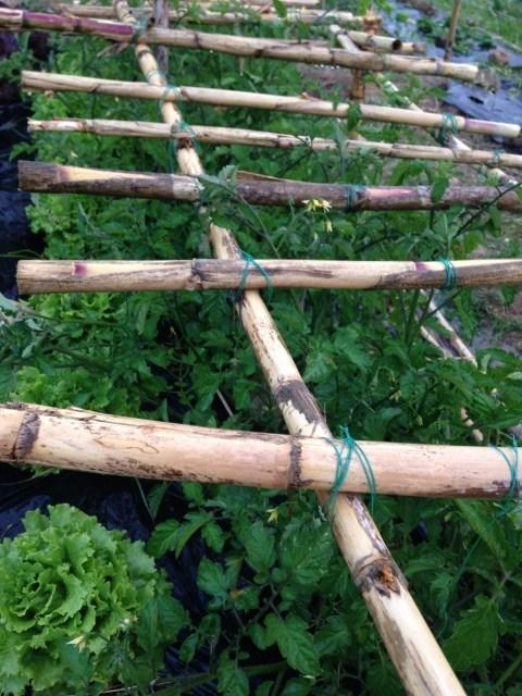 Estrutura tomateiros