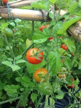 Tomates da horta – Cherry sweet vermelho