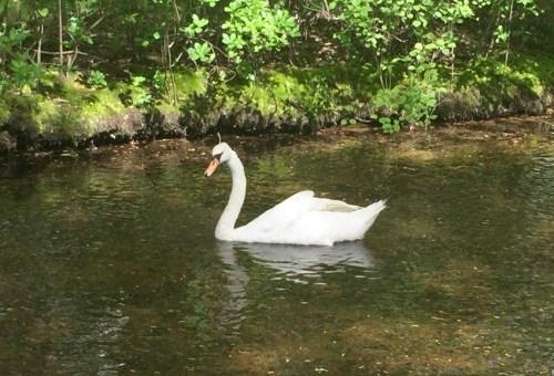 Swan in Massapequa Preserve