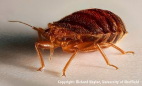 What a bed bug looks like