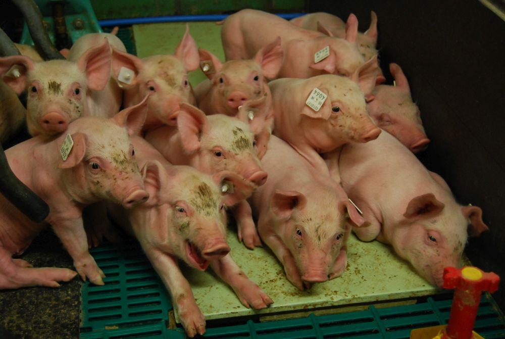 Das Ferkelnest ist mit einer Fußbodenheizung versehen, um die jungen Schweine optimal mit Wärme zu versorgen.