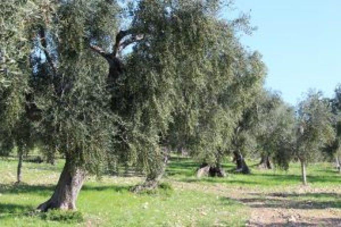 Das Anwesen umfasst ca. 2000 von alten Olivenbäumen Ogliarola Garganica