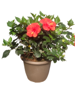 14-in-red-hibiscus-outdoor