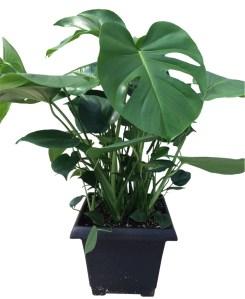 split-leaf-foliage-plant-10-in