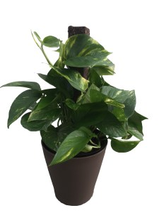 pothos-totem-pole-premium-foliage