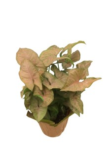 pink-butterfly-foliage-plant-6-in
