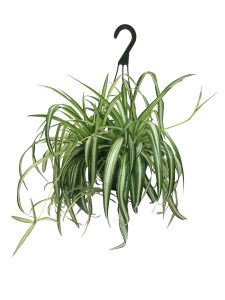 spider-plant-hanging-basket-8-in