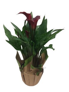 7-in-calla-lily-masson-farms-new-mexico