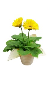 gerbera-daisy-4.5-in-cremic