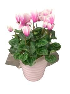 pink-4.5-in-cyclamen-in-ceramic